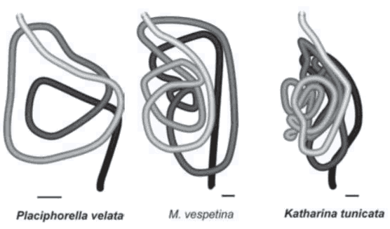 Diagram of gut coiling from three chitons
