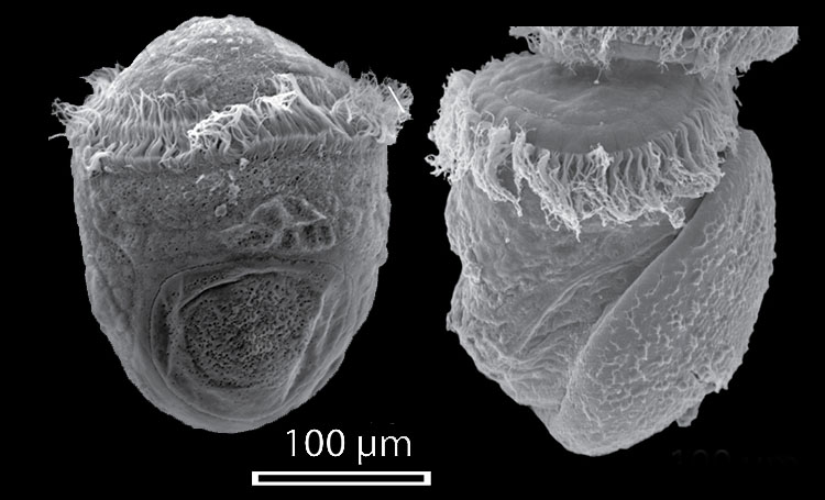 Trochophore larva (Haliotis asinina) of Gastropod life cycle