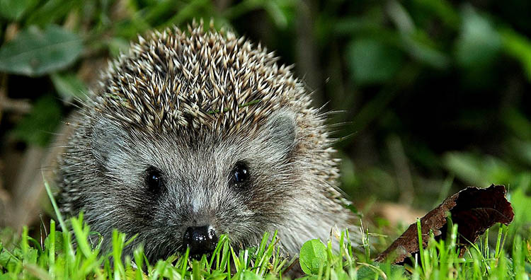 Hedgehog, Erinaceus concolor