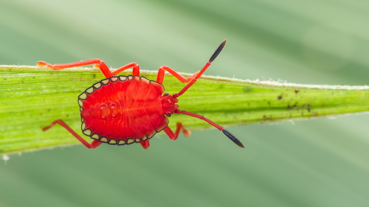 Hemiptera stinkbug