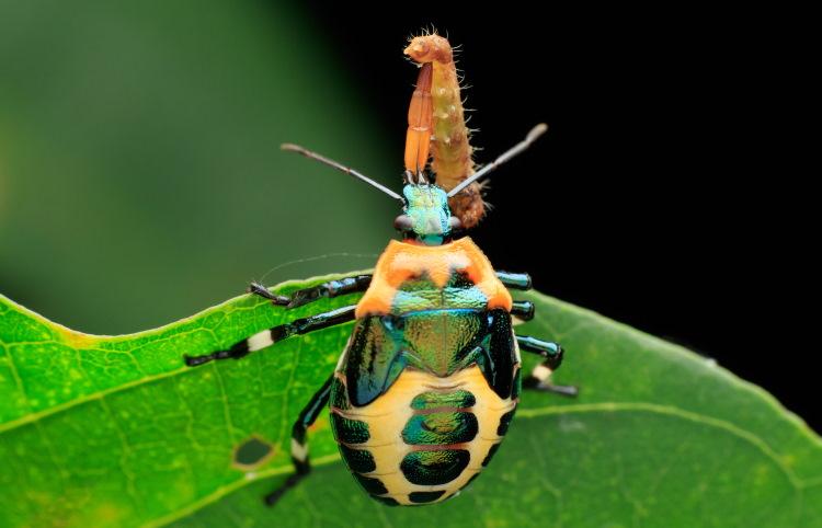 Hemiptera Stinkbug nymph