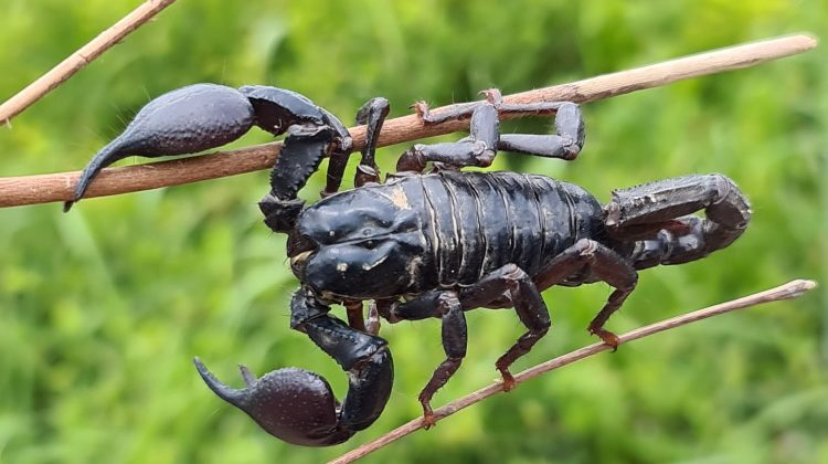 Scorpions 101 Fascinating But Deadly World Of Family Scorpionidae