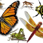 The Insect Orders: Including true insects and other Hexopoda