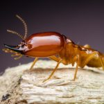 Isoptera 101: The Termite Life Cycle And Castes Explained