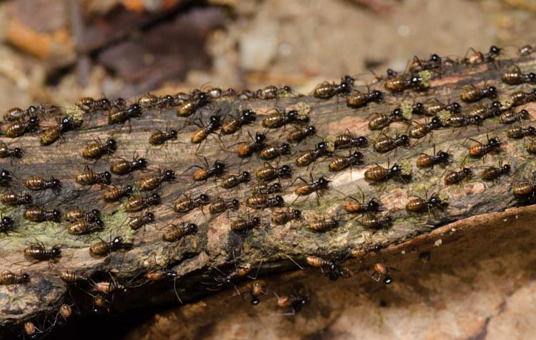 worker termite caste