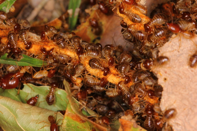 termite life cycle end stage