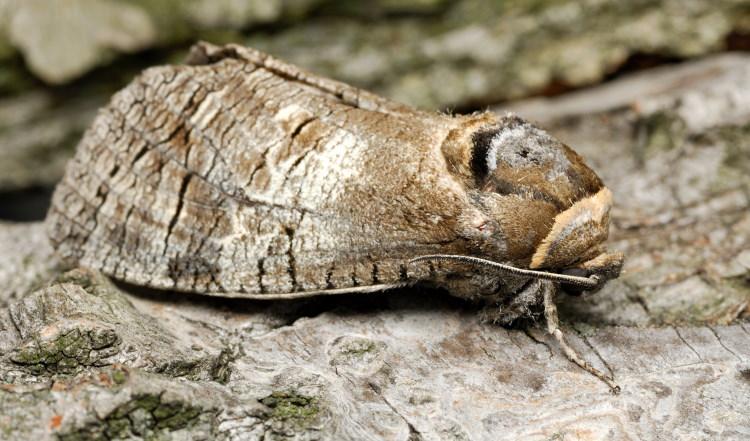 goat moth Lepidoptera