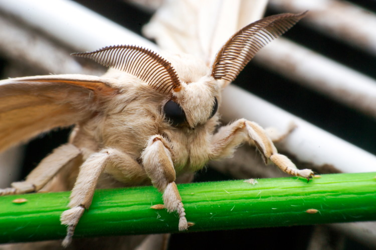 silk moth history