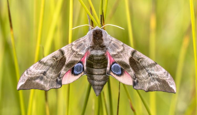 Eyed hawk moth Lepidoptera