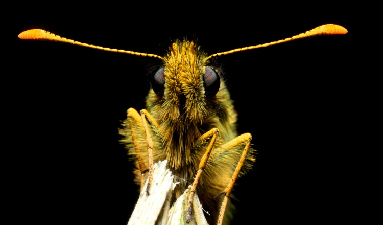 butterfly clubbed antennae