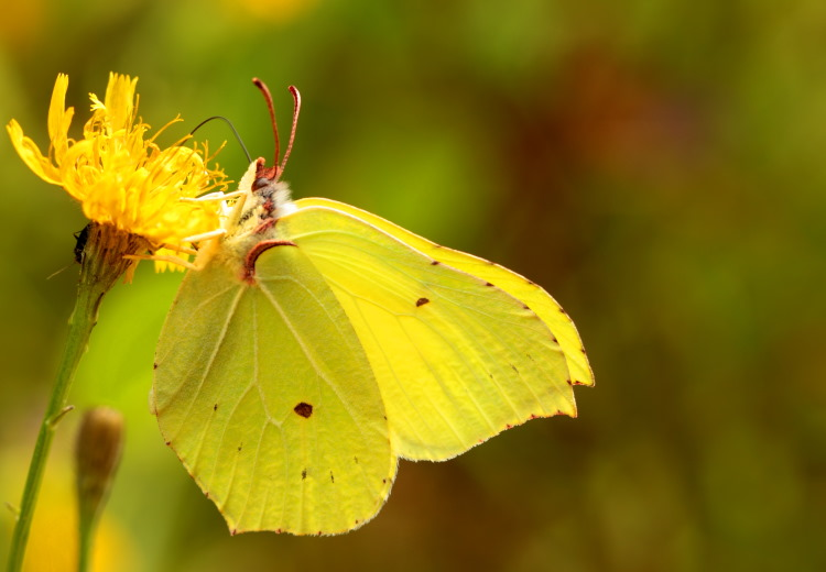 Brimstone butterfly color