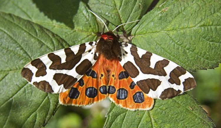moth color in tiger species