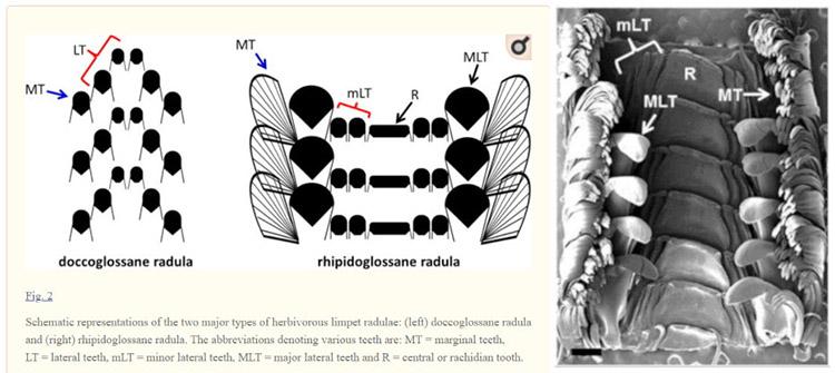 Diagram of types of Limpet Radula