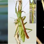 Mantophasmatodea: African Gladiator Bugs