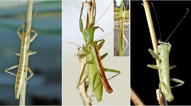 Three different Mantophasmatodea