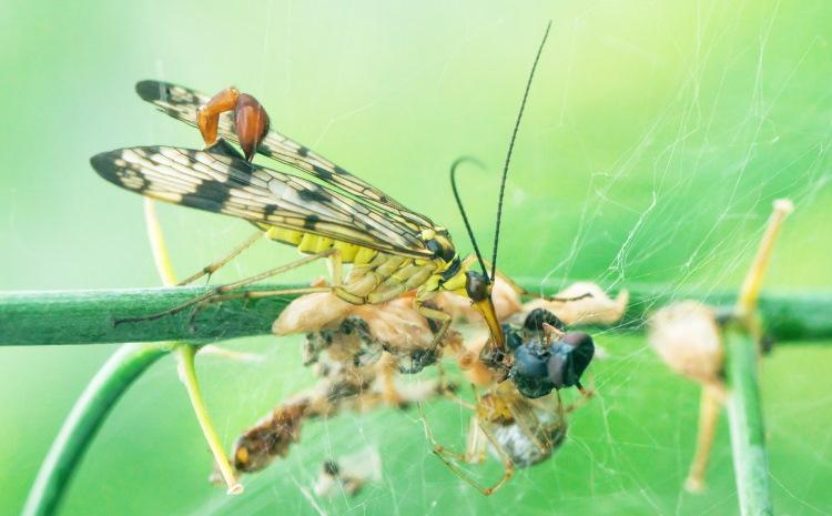 Mecopteran feeding