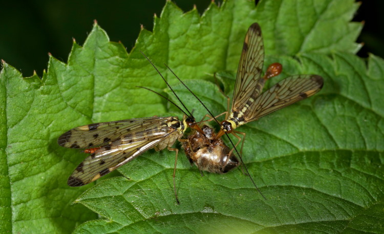 scorpionfly mating