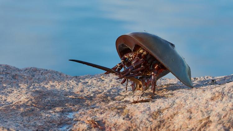 Horseshoe crab Limulus polyphemus