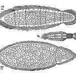 Phylum Mesozoa: The Tiny Parasites - Orthonectida & Rhombozoa