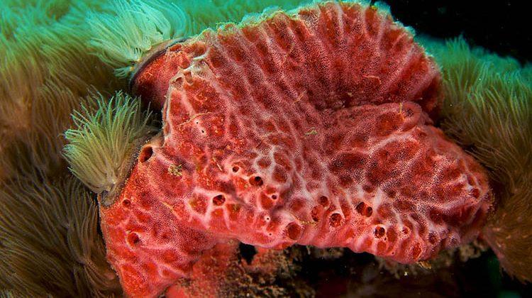 Monanchora unguifera (Pink Lumpy Sponge)
