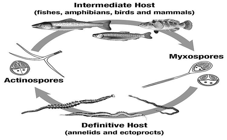 Diagram of Myxosporean Life Cycles