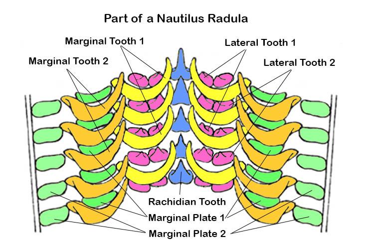 Diagram of a section of a Nautilus radula