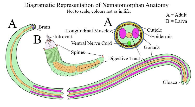 Diagram of Nematomorphan anatomy.