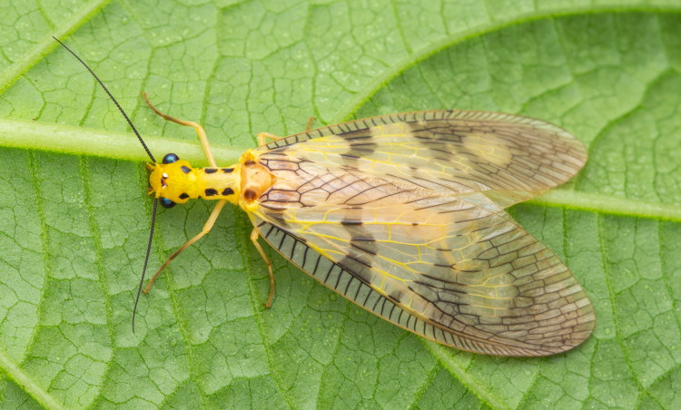 Yellow Dobsonfly