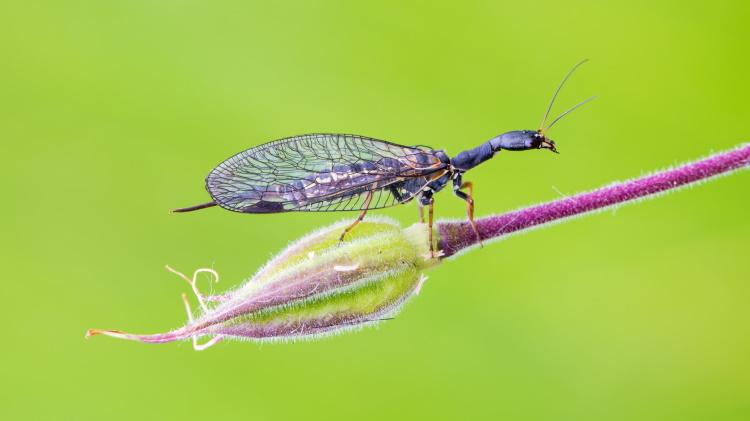 snakefly of order Megaloptera