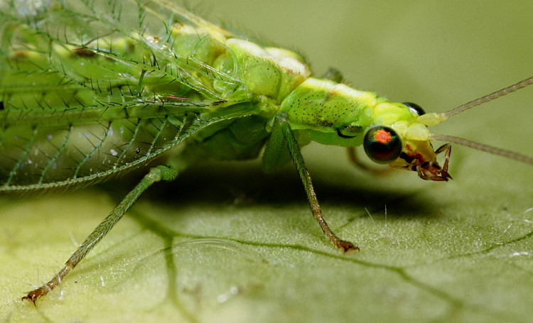 Neuroptera Chrysoperla carnea