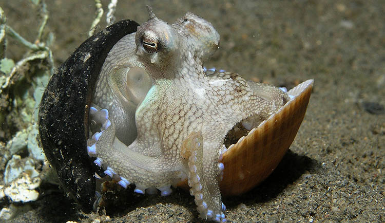 Ampioctopus marginatuts in a shell and coconut home.