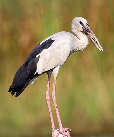 Asian Open-billed Stork