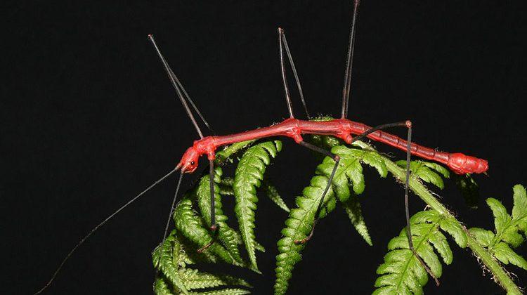 Oreophoetes peruna