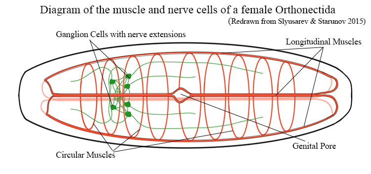 Diagram of the muscles and nerve cells of a female orthonectida.