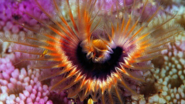 Phoronida coral reef