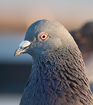 bird intelligence in the pigeon