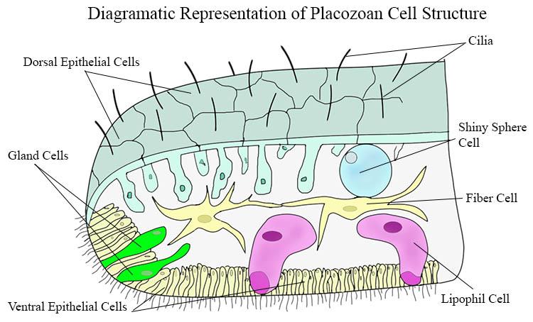 Diagram of Placozoan cellular structure.