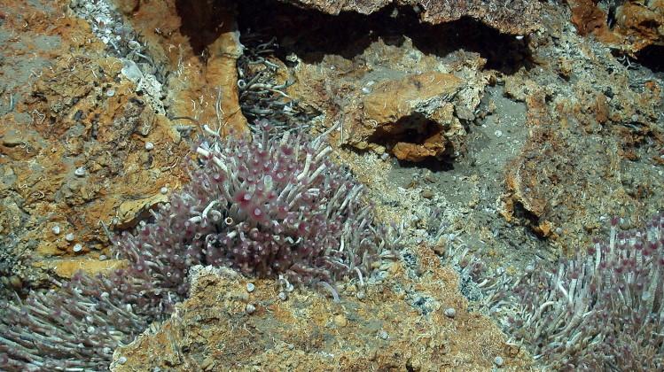 beard worm colony