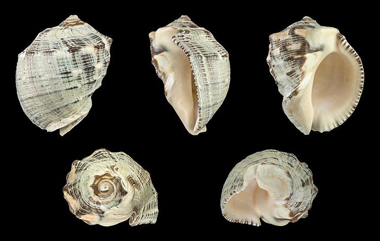 Purpurea bufo Shells