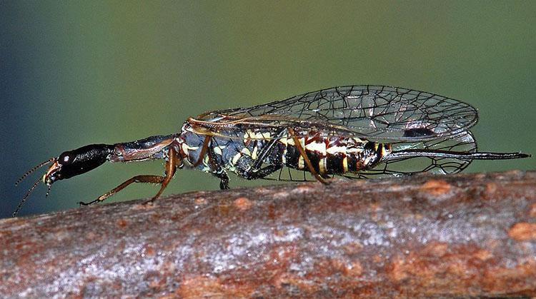 Raphidioptera Raphidia mediterranea