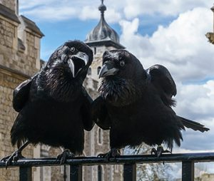 Ravens Munin and Jubilee