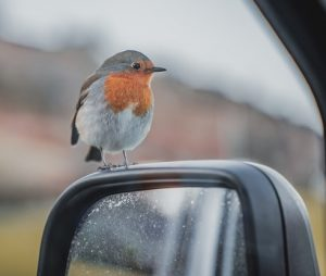 European Robin on a car mirror