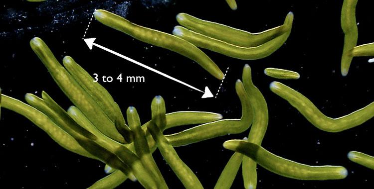 Symsagittifera roscoffensis