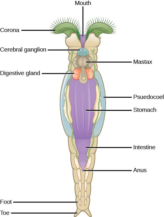 rotifer anatomy diagram