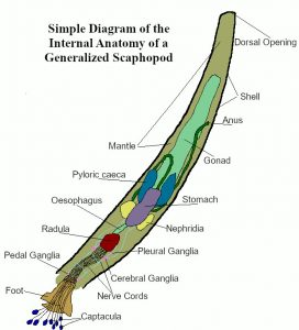 A generalized diagram of Scaphopoda anatomy.