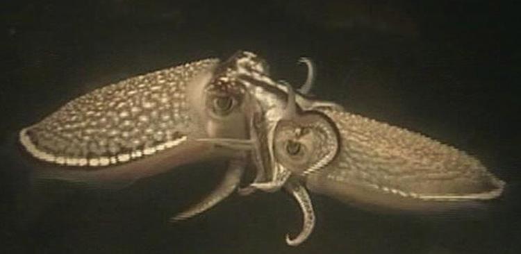 Sepiella japonica mating.