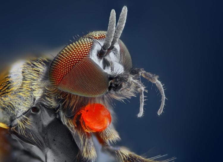 Simuliidae black fly close up