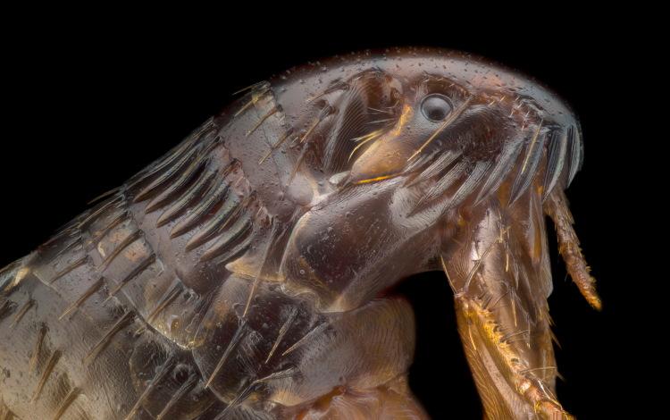 close up of a flea
