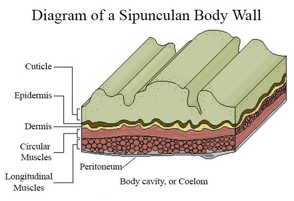 Diagram of a Sipunculan body wall.