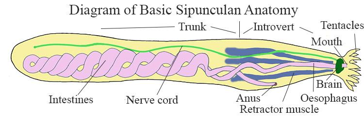 Diagram of basic Sipunculan anatomy